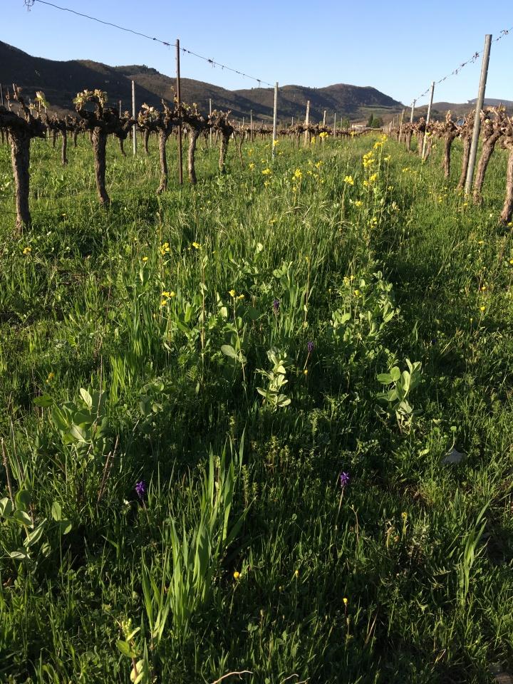 Parcelle semée d'engrais verts chez Julien Rémondat - Valvignères