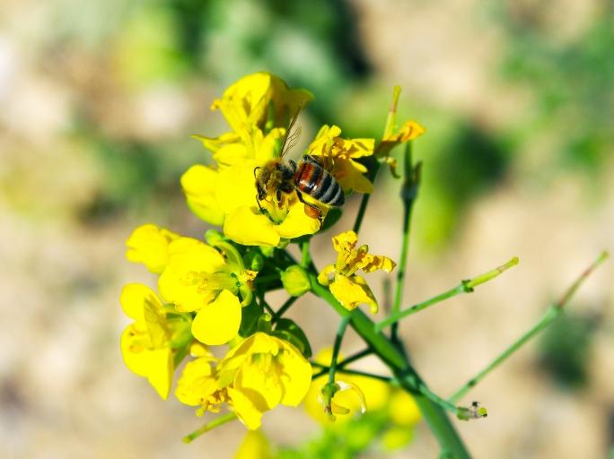 Abeille - biodiversité - ©Vignerons Ardéchois
