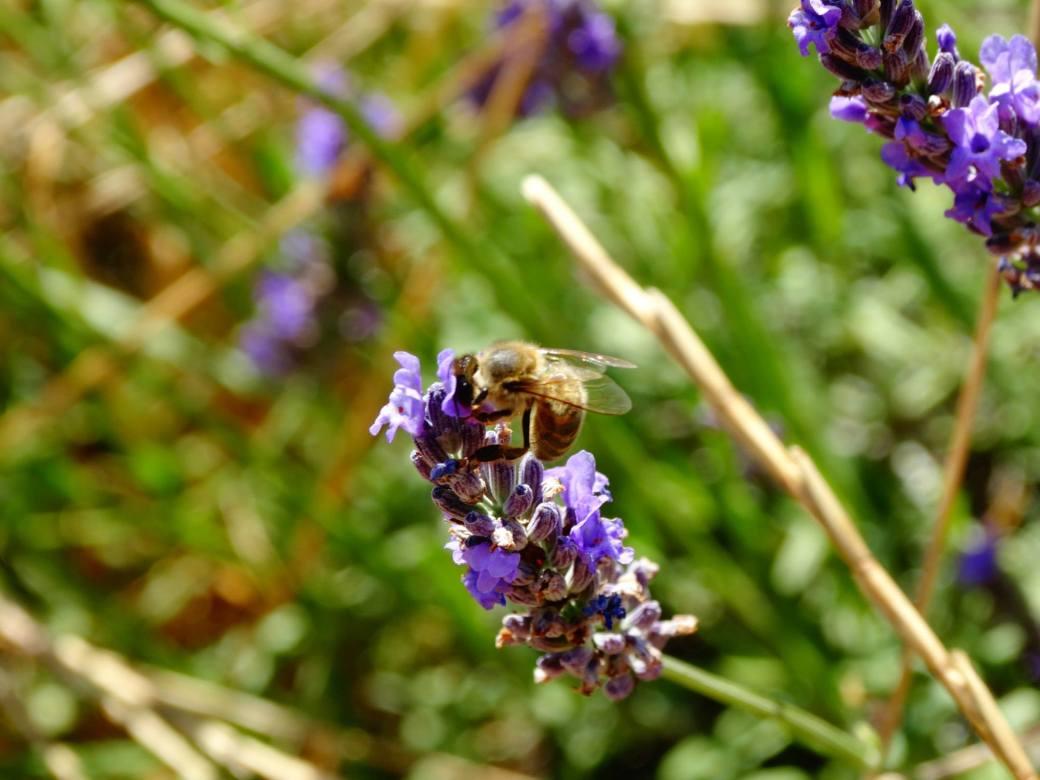 lavande et abeille - ©A. MARECHAL